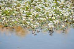 Fleurs blanches dans l'eau de rivière Image stock