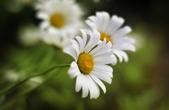 Fleurs blanches dans l'herbe Image libre de droits