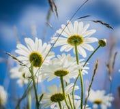 Fleurs blanches dans l'herbe verte Photographie stock libre de droits