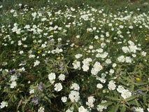 Fleurs blanches dans la campagne Image libre de droits