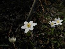 Fleurs blanches dans la forêt Photographie stock libre de droits