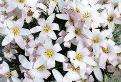 Fleurs blanches dans le jardin botanique à Madrid images libres de droits