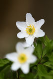 Fleurs blanches dans le pré image stock