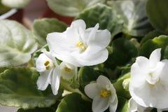 fleurs blanches dans un pot sur la fenêtre entourée par les feuilles vertes photos stock