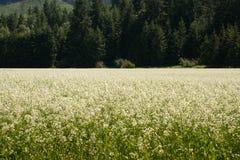 Fleurs blanches dans un pré Photos libres de droits