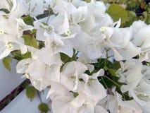 Fleurs blanches de bouganvillée blanche de Bougainvillea Photos stock