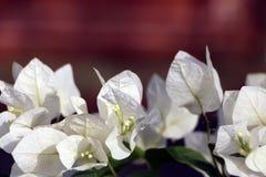 Fleurs blanches de bouganvillée blanche de Bougainvillea Photographie stock