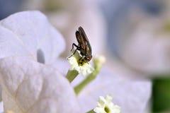 Fleurs blanches de bouganvillée blanche de Bougainvillea Photo stock