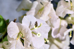 Fleurs blanches de bouganvillée blanche de Bougainvillea Images stock