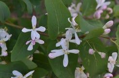 Fleurs blanches de buisson photos stock