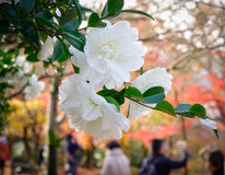 Fleurs blanches de camélia fleurissant au jardin images libres de droits