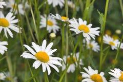 Fleurs blanches de camomille Photos stock