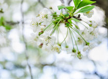 Fleurs blanches de cerise Photographie stock libre de droits