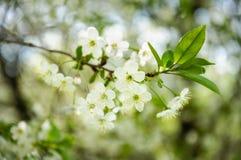 Fleurs blanches de cerise Images stock