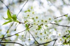 Fleurs blanches de cerise Image stock