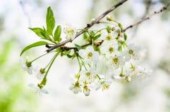 Fleurs blanches de cerise Photos libres de droits