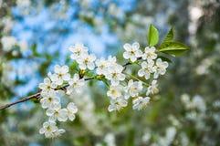 Fleurs blanches de cerise Photographie stock