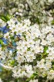 Fleurs blanches de cerise Images libres de droits