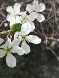 Fleurs blanches de cerise image libre de droits