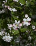 Fleurs blanches de cerise et de feuille photos libres de droits