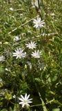 Fleurs blanches de champ Images libres de droits