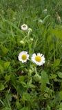 Fleurs blanches de champ Photo libre de droits