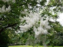 Fleurs blanches de Chionanthus Virginicus d'arbre de frange image stock