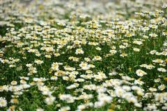 Fleurs blanches de chrysanthème Photo libre de droits