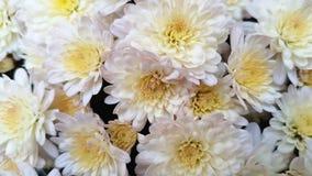 Fleurs blanches de chrysanthemum photo libre de droits