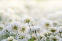 Fleurs blanches de chrysanthemum images libres de droits