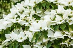 Fleurs blanches de cornouiller Photo libre de droits