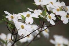 Fleurs blanches de cornouiller Photos libres de droits