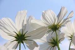 Fleurs blanches de Cosmo contre le ciel bleu Photographie stock