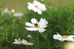 Fleurs blanches de cosmos Image libre de droits