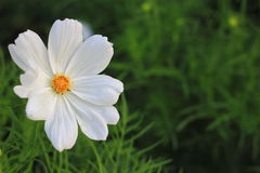 Fleurs blanches de cosmos Images libres de droits