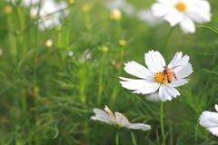 Fleurs blanches de cosmos Photo libre de droits
