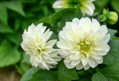 Fleurs blanches de couleur images libres de droits