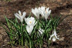 Fleurs blanches de crocus début mai Photos libres de droits