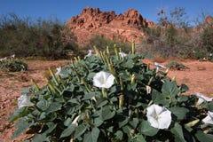 Fleurs blanches de désert Photographie stock libre de droits