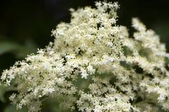 Fleurs blanches de fleur de sureau Photo stock