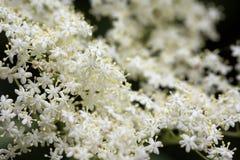 Fleurs blanches de fleur de sureau Image libre de droits