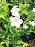 Fleurs blanches de flocon de neige Images stock