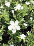 Fleurs blanches de flocon de neige Image libre de droits
