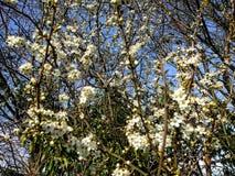 Fleurs blanches de floraison image libre de droits
