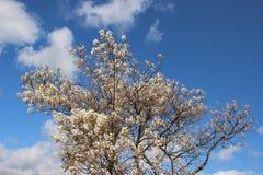 Fleurs blanches de floraison fleurissantes avec le ciel bleu image stock