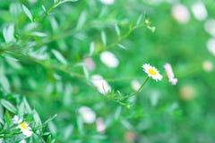 Fleurs blanches de foyer mou Photographie stock libre de droits