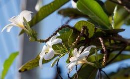 fleurs blanches de frangipani, fleur de plumeria Image libre de droits