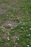 Fleurs blanches de frutescens d'Argyranthemum de marguerites de Paris et fleurs jaunes de tingitana de Reichardia de reichardie d image libre de droits