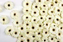 Fleurs blanches de Gerbera Image libre de droits