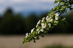 Fleurs blanches de hawthorne Image stock